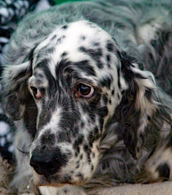 english setter portrait 2