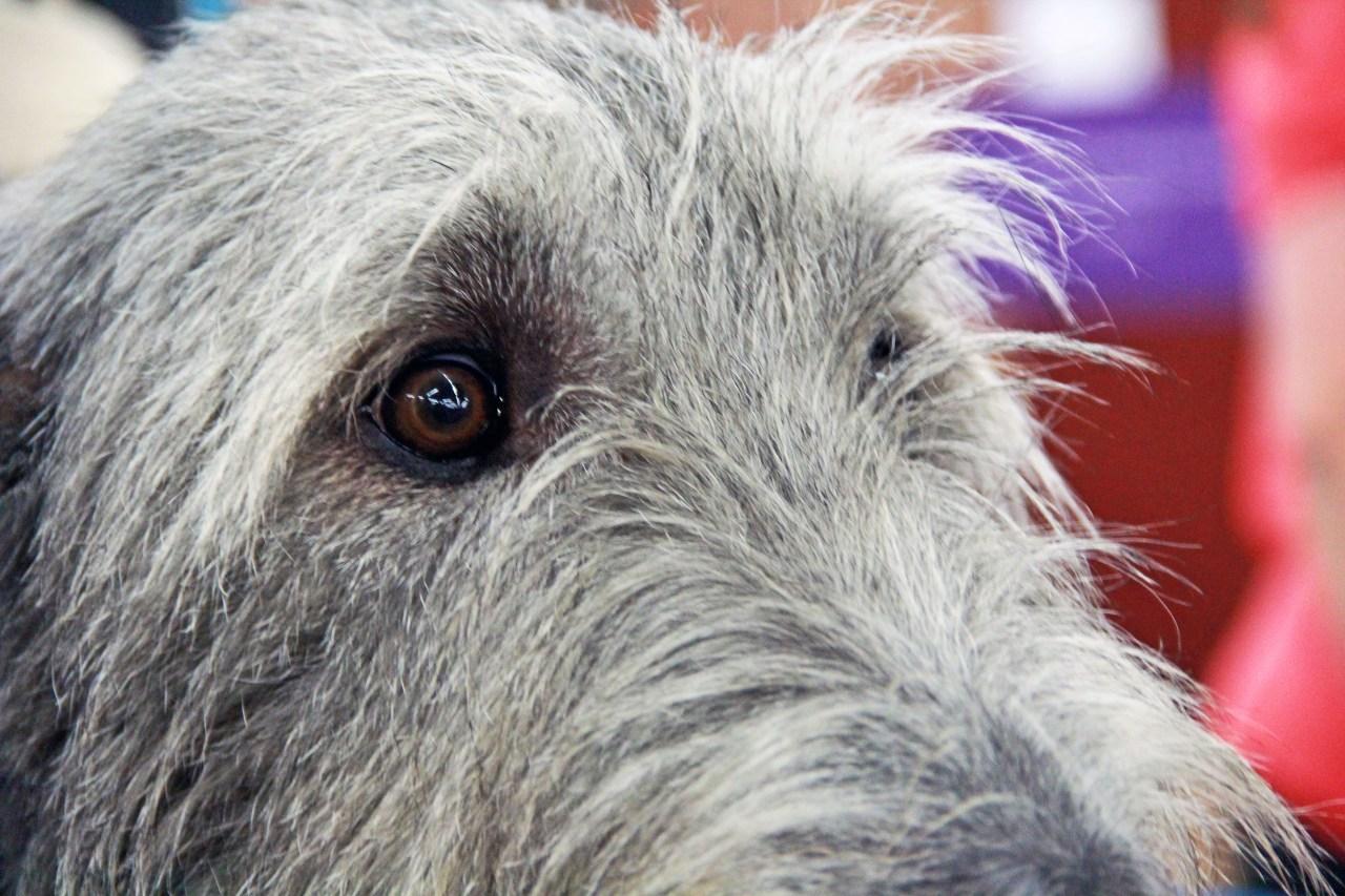 wolfhound eyes2