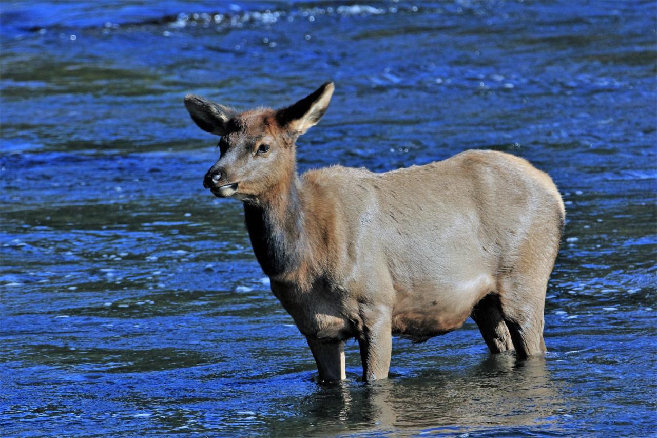 Baby elk madison river blog