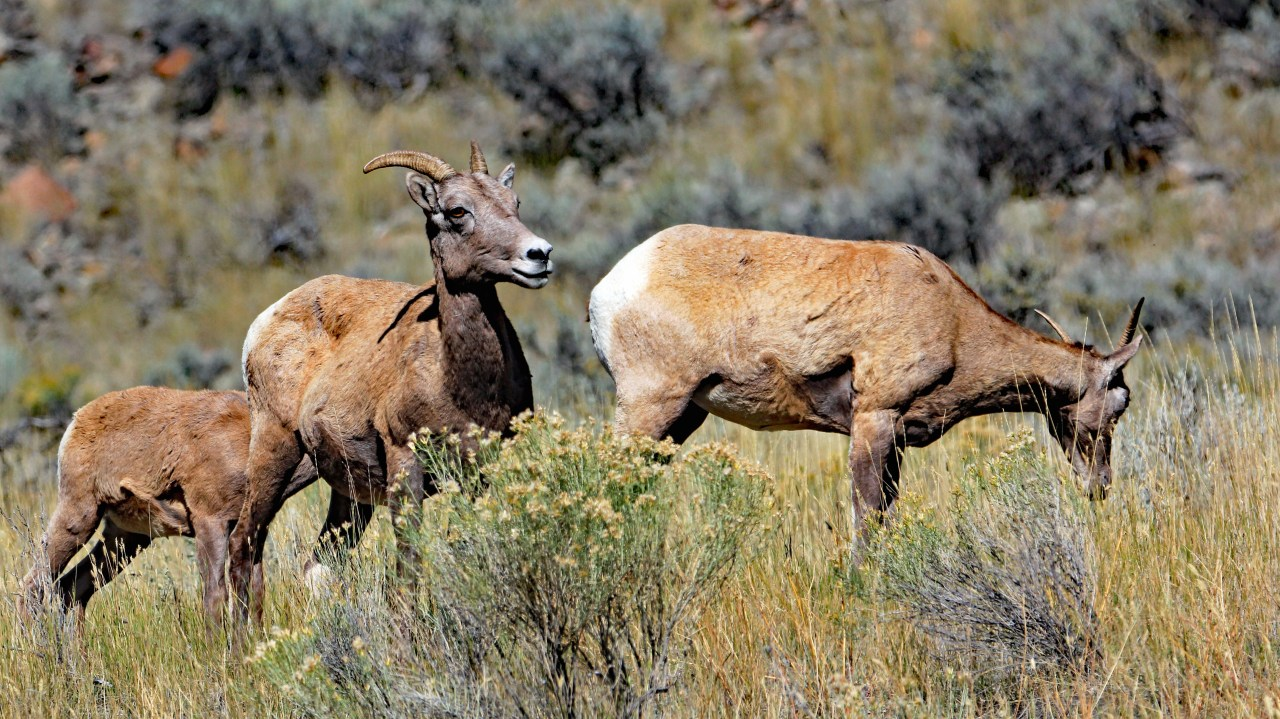 Big Horn Sheep 3