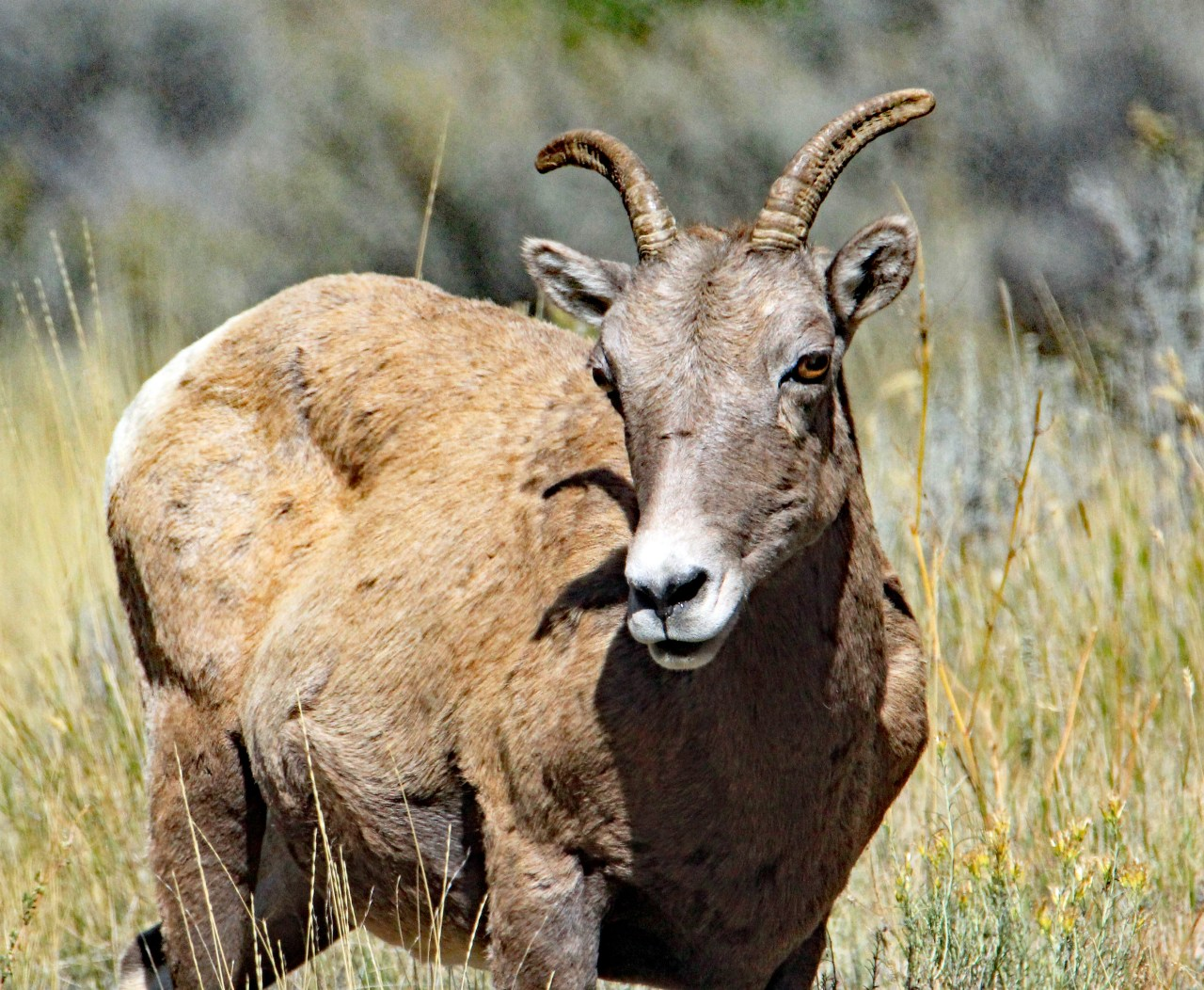 Big Horn Sheep 4
