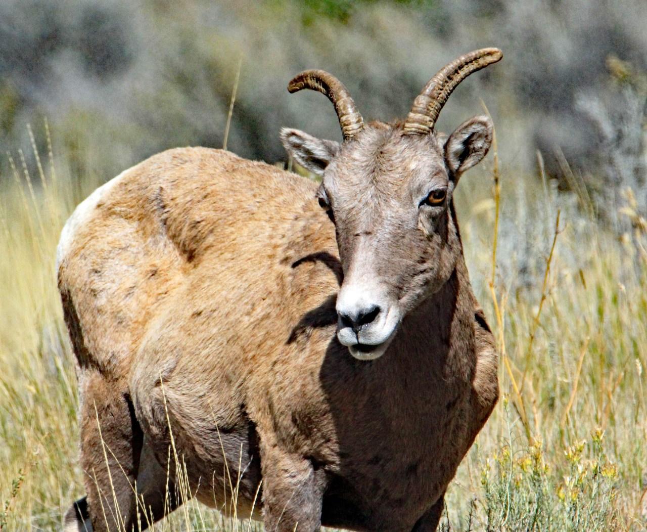 Big Horn Sheep 4