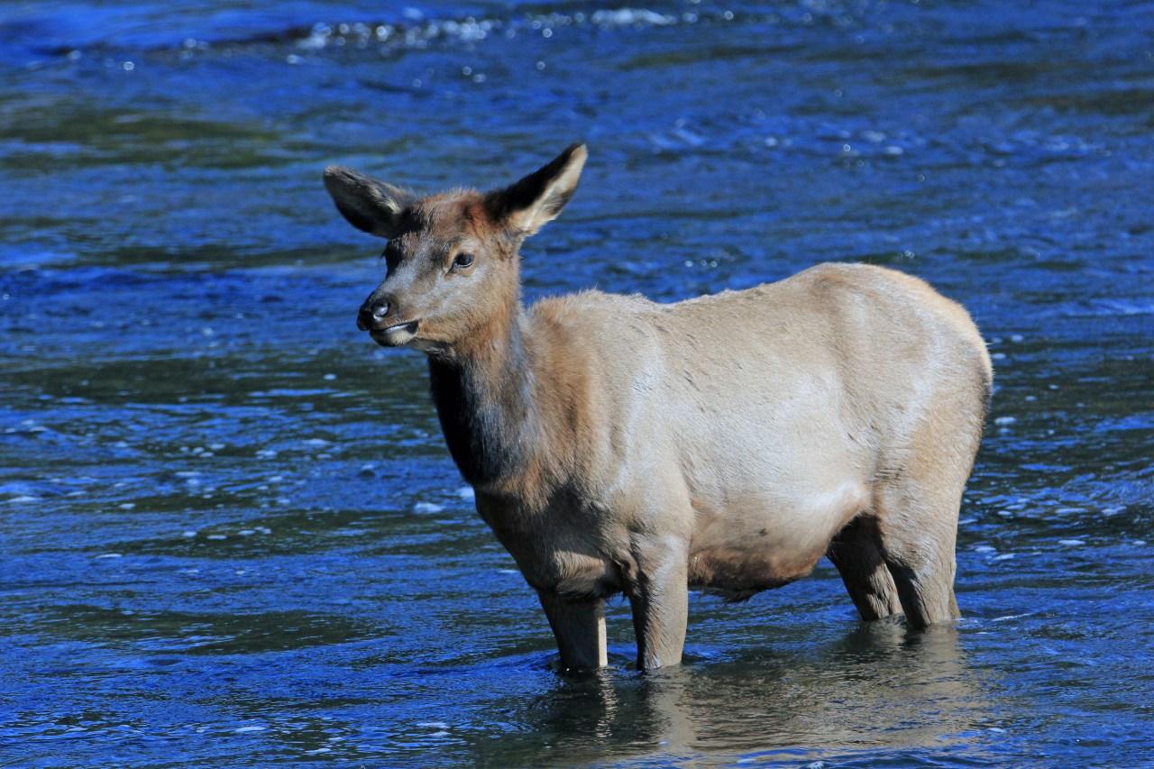Baby elk madison river
