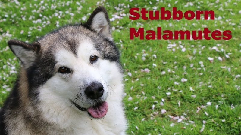 Rumo the Alaskan Malamute smiles at the camera with some dirt on his face.