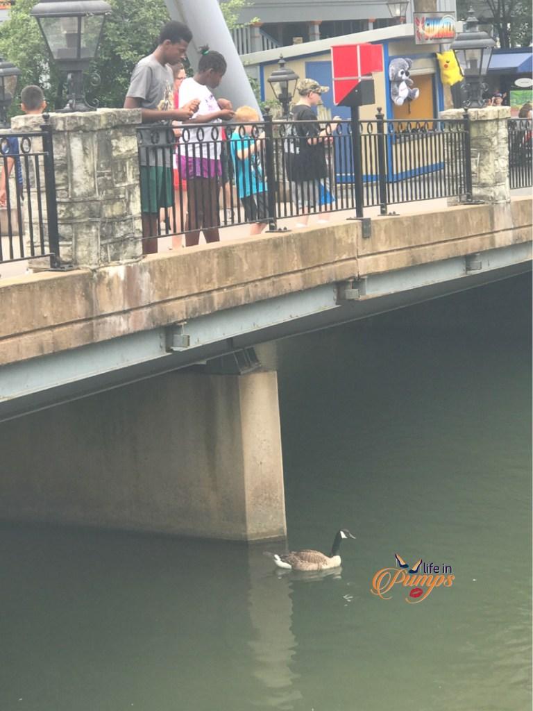 duck feeding Hersheypark - Life in Pumos