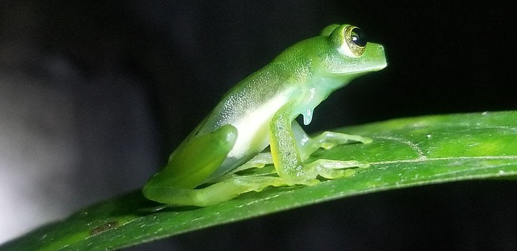 Green fleishmann glass frog sitting leaf