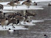 mallard Canada geese goldeneye river Fulton
