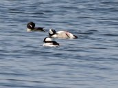 Buffalohead Duck Lake Neatahwanta