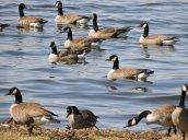 Canada Geese Lake Neatahwanta