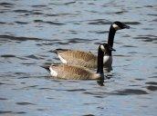 Canada Goose Lake Neatahwanta