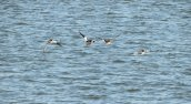 common mergansers flying Brietbeck Park