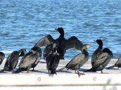 cormorants Oswego Marina