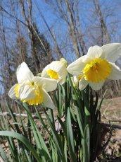 daffodils woods
