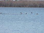 flying waterfowl Lake Neatahwanta