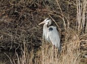 Great Blue Heron marsh Lake Ontario