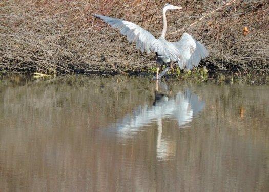 Great Blue Heron marsh Lake Ontario2