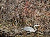 Great Blue Heron marsh Lake Ontario4