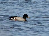 mallard duck Lake Neatahwanta
