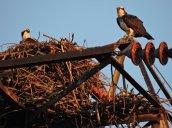 nesting Osprey Oswego River