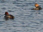 Redhead Duck Merganser Breitbeck Park