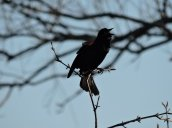 redwinged black bird Brietbeck