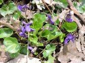 violets flowers GHL