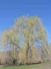 Williow tree Lake Neatahwanta