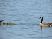 Canada Geese Goslings Lake Neatahwanta