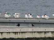 caspian terns Lake Ontario
