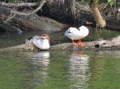 common mergansers Oswego River