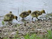 Goslings North Bay