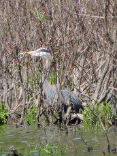 Great Blue Heron Bullhead Point