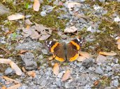 Painted Lady butterfly RHL2