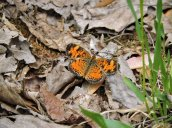 Pearl Crescent Butterfly RHL