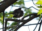 preening bird RHL