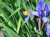 Skipper Butterfly iris yard