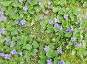 violets yard
