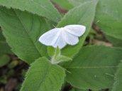 white spring moth (maybe) yard