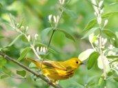 yellow warbler GHL