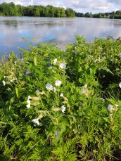 bladder campion and cloud reflections Oswego River