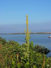common mullein Breitbeck Lake Ontario