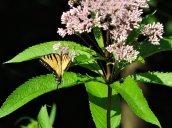 Eastern Swallowtail butterfly Joe-pyed weedgarden