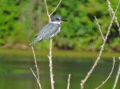 Belted Kingfisher Glimmerglass Lagoon2
