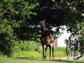 black faced white-tailed deer Glimmerglass Lagoon