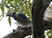 blue jay nut North Bay