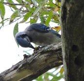 blue jay nut North Bay2