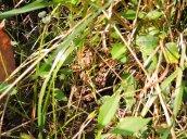 brown frog Granby