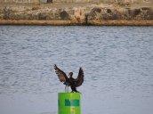 cormorant Brietbeck Park