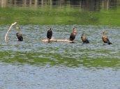 cormorants Oswego River Fulton