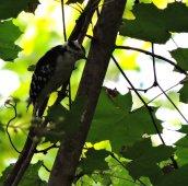 downy woodpecker Granby2